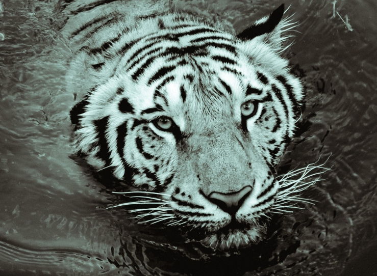 white-tiger-swimming-in-the-water